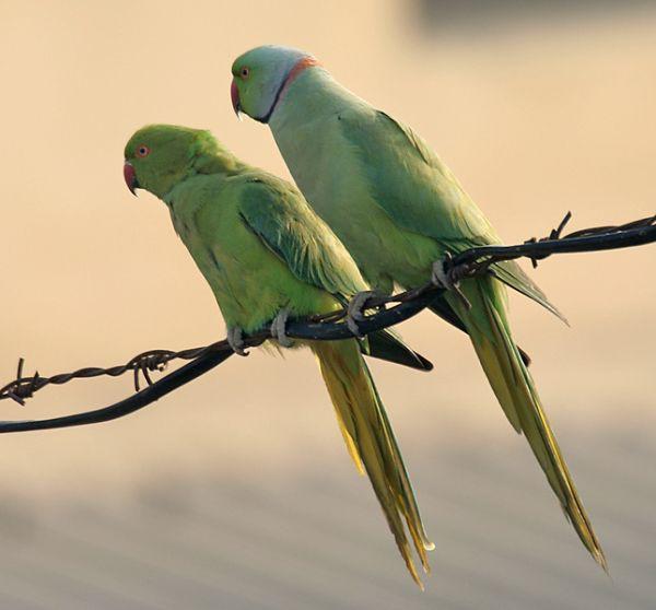 Egzotyczne papugi w Polsce.