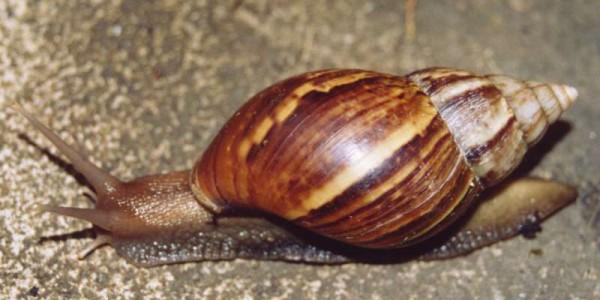 Gigantyczne ślimaki zjadają ogródki działkowe w województwie podlaskim.